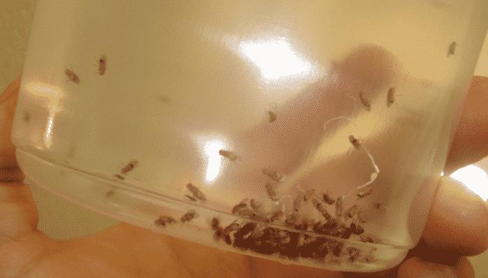 La mosca de la fruta una plaga que no puedes ignorar - Eliminar moscas en casa ...
