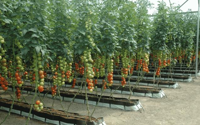 5 Pasos Para Sembrar Y Cosechar El Tomate Tecnica De