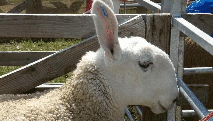 Las 10 Razas De Ovejas Mas Populares Criadas Para Carne Y Lana