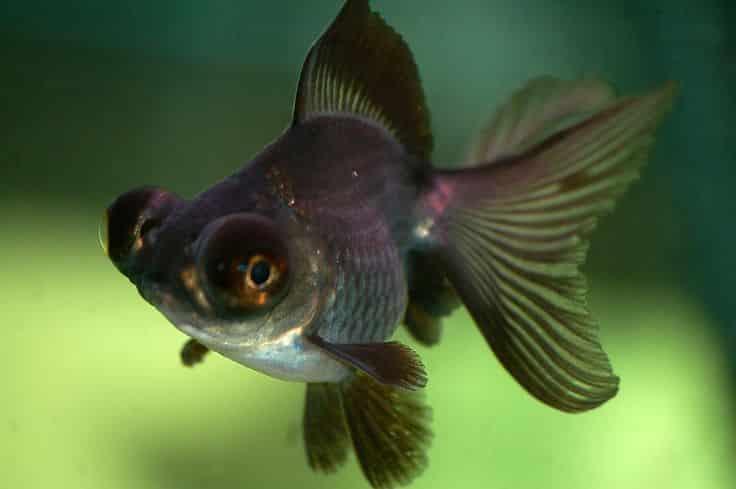 Los peces telescopio agronomaster for Peces goldfish tipos