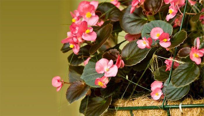 La planta de navidad best planta de navidad cuidados planta de anthurium blanco cuidados planta - Cuidados planta navidad ...