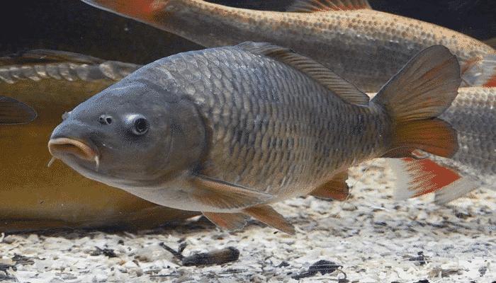 pez carpa 1 agronomaster