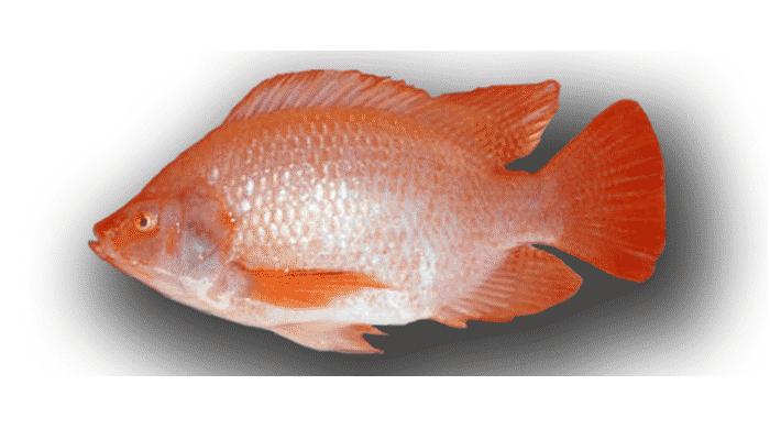3 4 tipos y etapas importantes dentro de la piscicultura