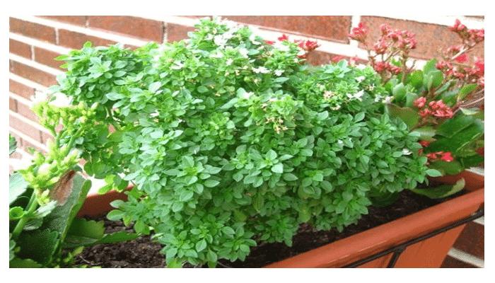 Plantas aromaticas interior latest jardin de hierbas con - Plantas aromaticas interior ...