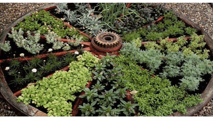 Tipos de hierbas aromaticas batlle perejil comn de hoja for Cultivo de plantas aromaticas y especias