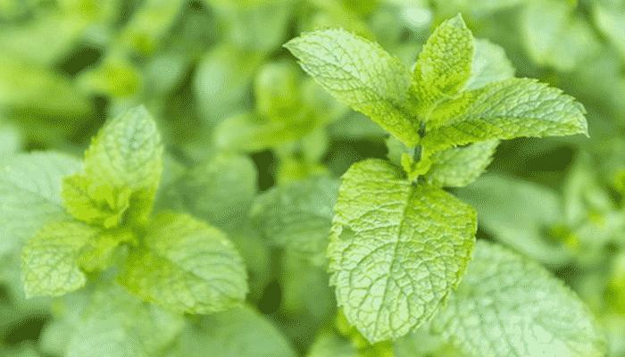 Plantas arom ticas 3 agronomaster for Tipos de plantas aromaticas