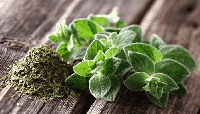 Plantas arom ticas 4 agronomaster for Tipos de plantas aromaticas