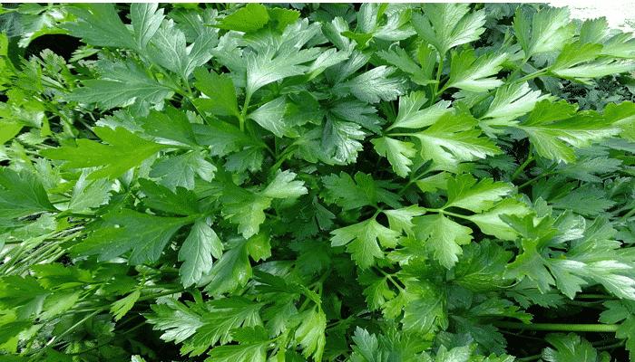 Plantas arom ticas 9 agronomaster for Tipos de plantas aromaticas