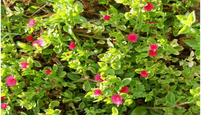 aptenia - Plantas Colgantes