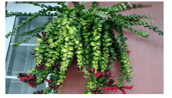 la esquinantus o esquenanto es una planta bella para canastas colgantes es recomendable ubicar estas plantas en un sitio bien alumbrado - Plantas Colgantes