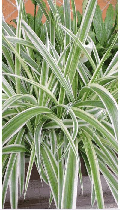 Plantas Colgantes 9 Agronomaster
