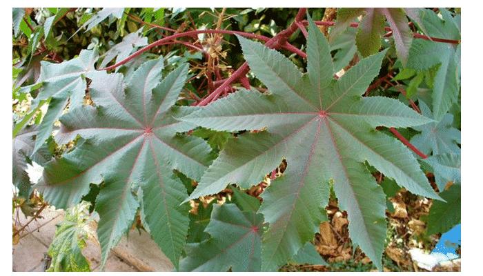 Plantas venenosas 2 agronomaster - Plantas ornamentales venenosas ...