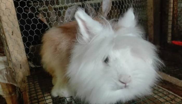8 Características Del Conejo Cabeza De León Y Sus Cuidados