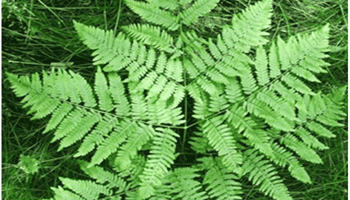 Plantas de helechos 5 agronomaster - Tipos de plantas de exterior ...