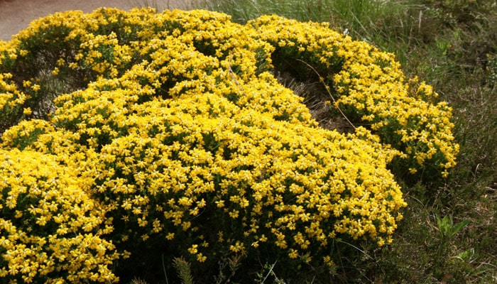 6 Plantas Rastreras Que Harán Que Tu Jardín Se Vea Hermoso