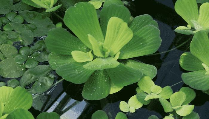 Plantas de agua 5 agronomaster for Plantas para estanques de agua fria