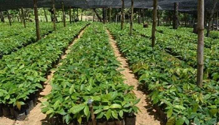 c mo cultivar el cacao 5 etapas manejo y ventajas de la