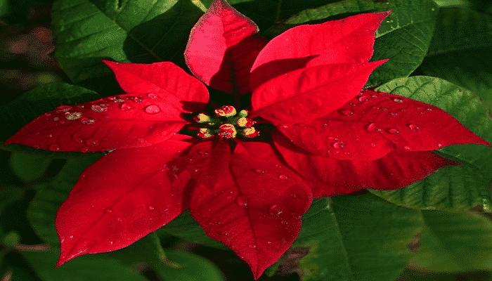 Flor de pascua infalibles consejos para su cultivo - Que cuidados necesita la flor de pascua ...