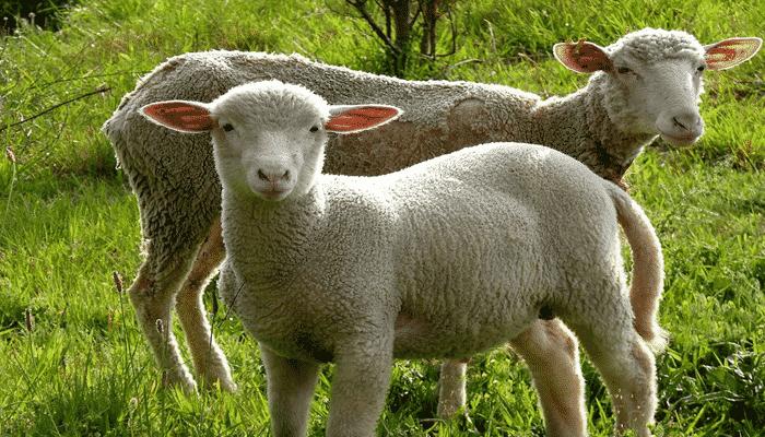10 Características de las ovejas que te encantarán ¡Obsérvalas!