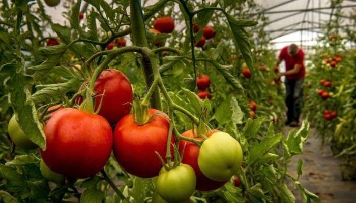 Cultivo-De-Tomate-6