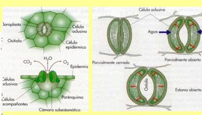 Resultado de imagen para transpiración plantas