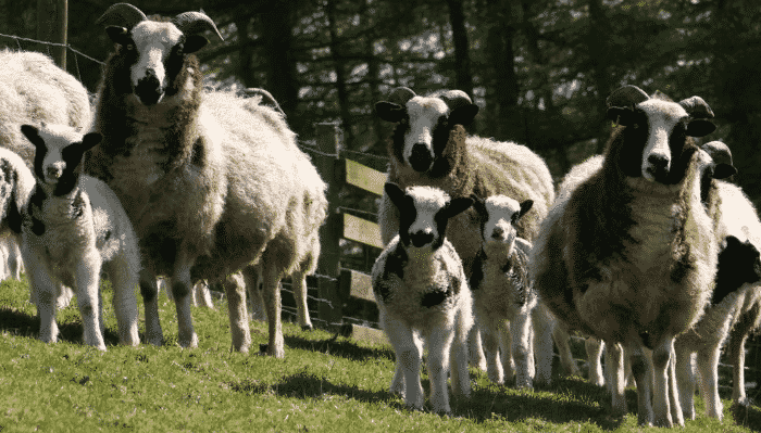 Las 10 razas de ovejas mas populares criadas para carne y lana - Pieles de oveja ...