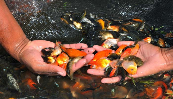 5 de los mejores peces de agua fr a descubre sus cualidades for Enfermedades de peces de agua fria