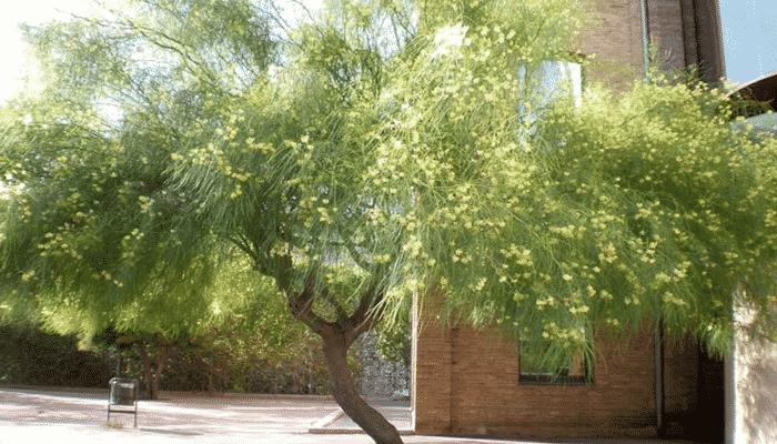 12 tipos de plantas del desierto que se pueden adaptar a for Arboles de hoja perenne para clima mediterraneo