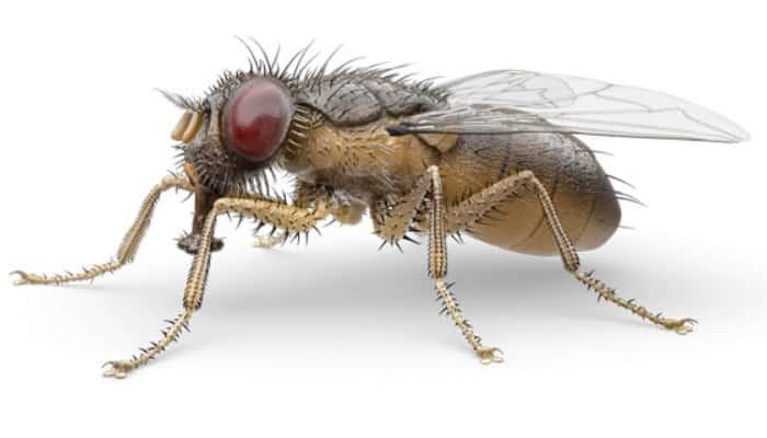 5 Variedades De Moscas según su especie ¿Plaga o vector?