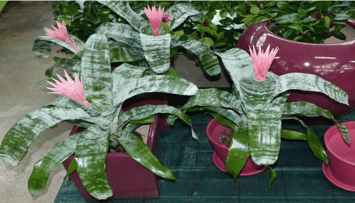 La Bromelia 4 Cuidados 2 Variedades Que Te Encantaran