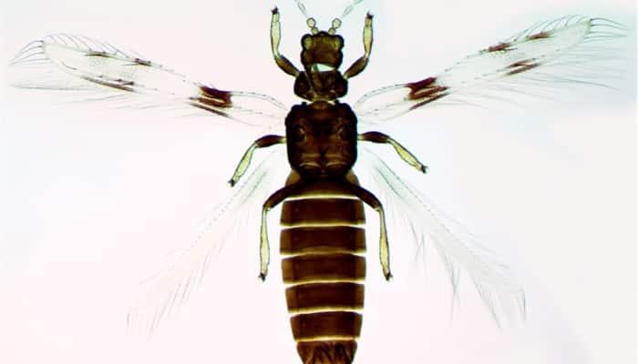 Orden Thysanoptera