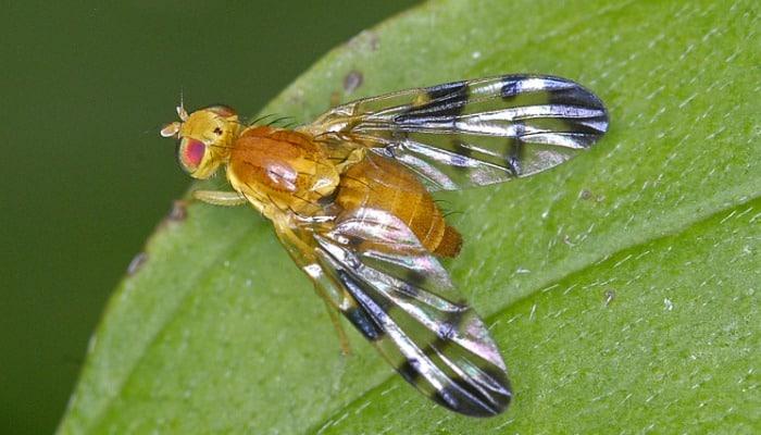 Orden Diptera