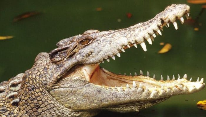 4 Tipos de cocodrilos y sus características más impresionantes